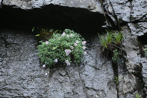 Paraquilegia microphylla 拟耧斗菜 (1).JPG