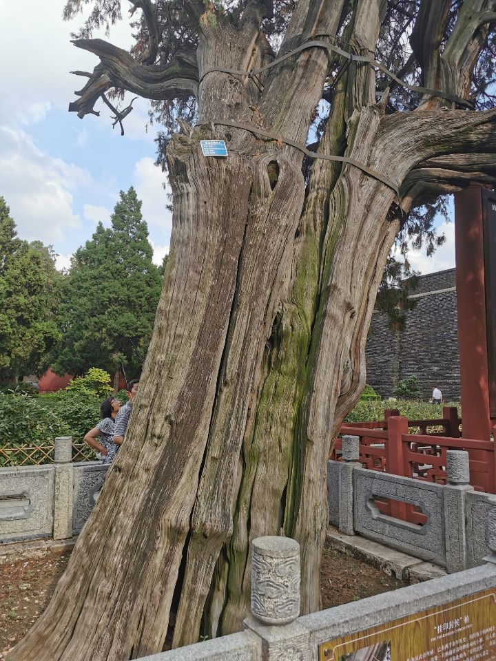 泰安岱庙之古柏2.jpg