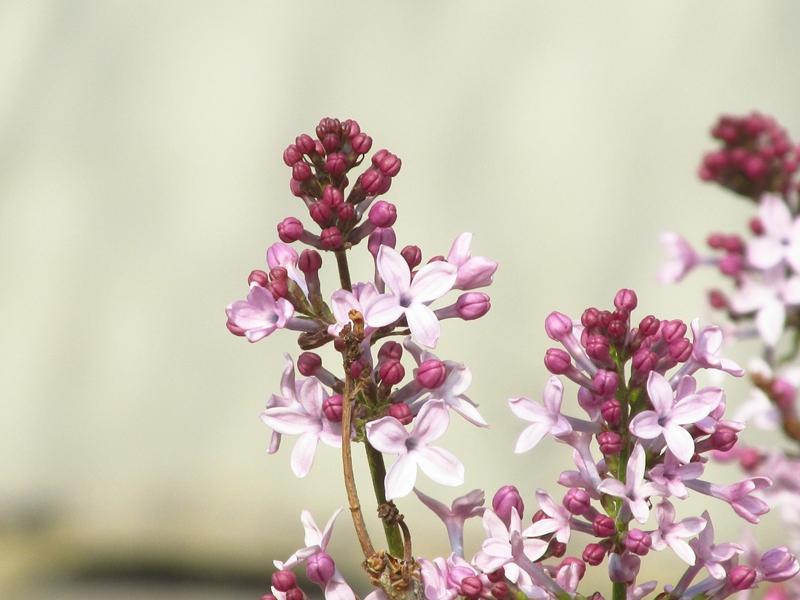 紫色的丁香花(2021春,北洋园) 01 IMG_8186_副本.jpg