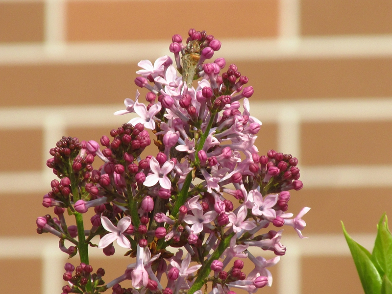 紫色的丁香花(2021春,北洋园) 03 IMG_8187_副本.jpg