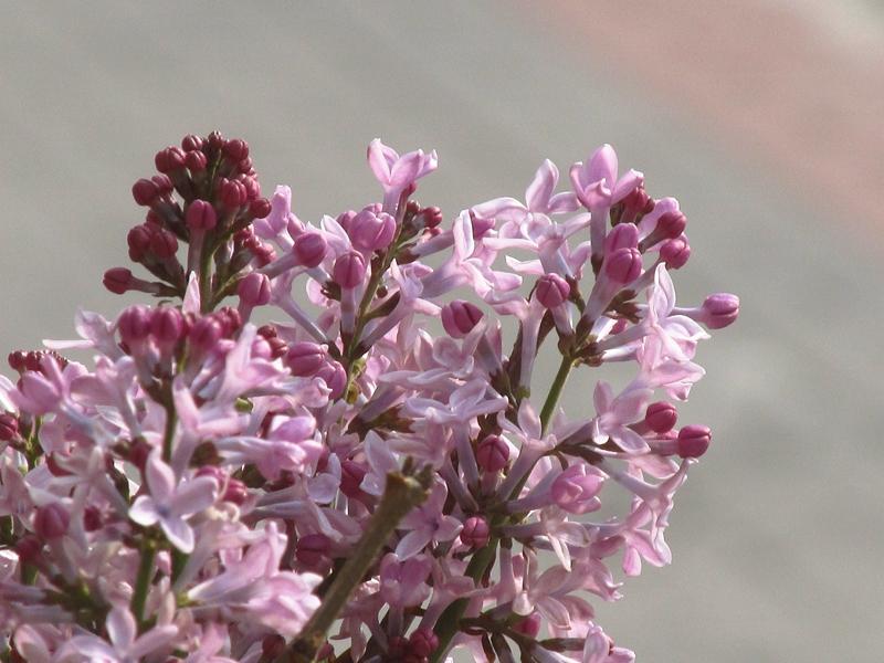 紫色的丁香花(2021春,北洋园) 04 IMG_8190_副本.jpg