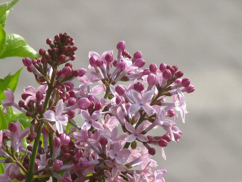 紫色的丁香花(2021春,北洋园) 05 IMG_8189_副本.jpg