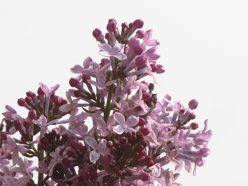 紫色的丁香花(2021春,北洋园) 06 IMG_8192_副本.jpg