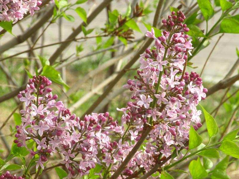 紫色的丁香花(2021春,北洋园) 07 IMG_8197_副本.jpg