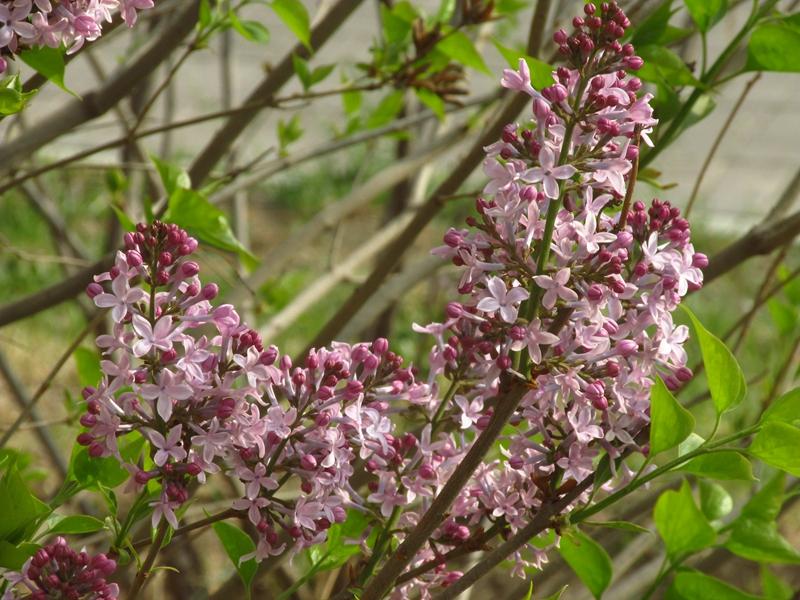 紫色的丁香花(2021春,北洋园) 08 IMG_8195_副本.jpg