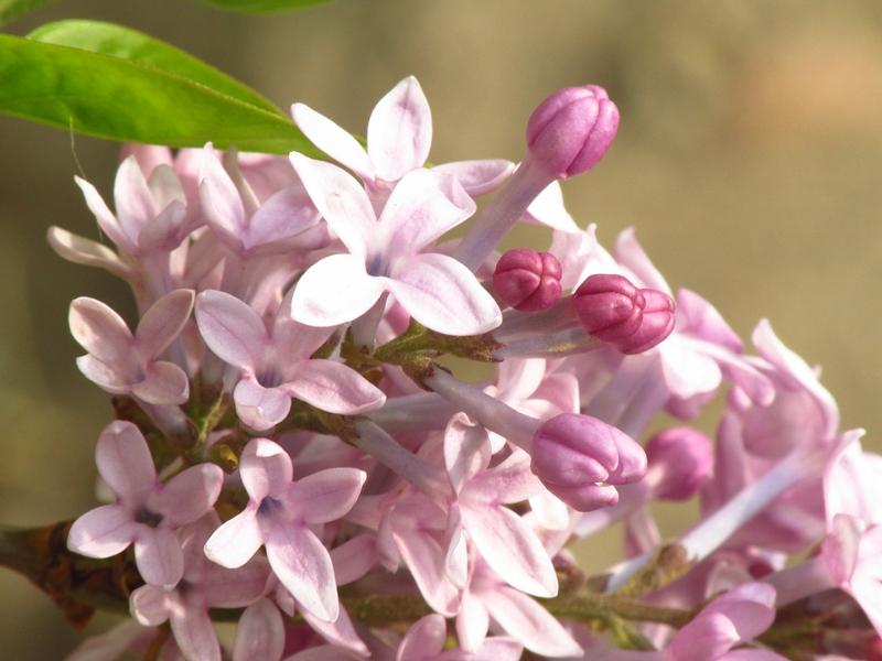 紫色的丁香花(2021春,北洋园) 10 IMG_8204_副本.jpg