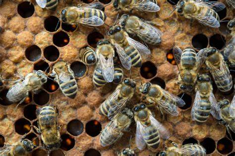 honeybees.jpg