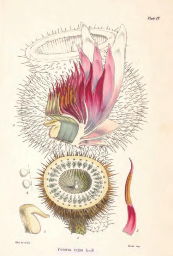 图5-2 上左 王莲的果实和花解剖图.jpg