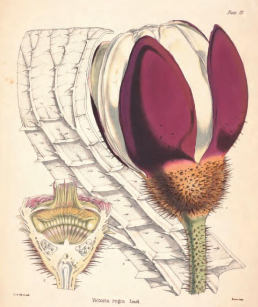 图5-2 上右 王莲的花蕾、叶脉及花托纵剖图.jpg