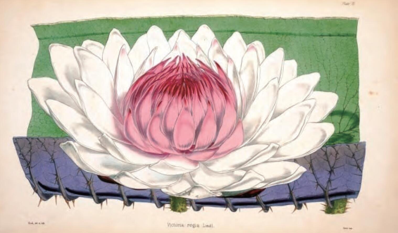 图5-2 下 王莲叶和花朵.jpg