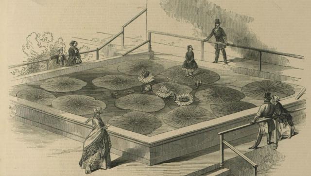 图6 王莲首次开花和载人 伦敦新闻画报,1849年11月17日.png
