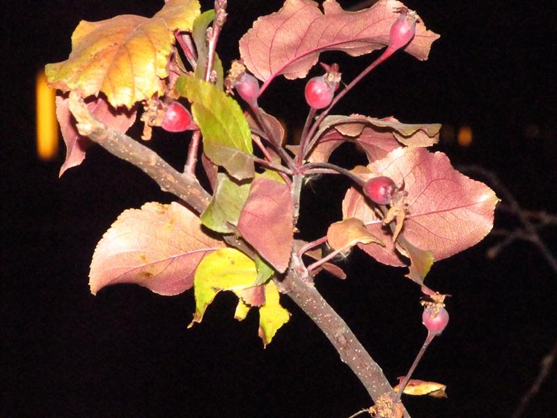 王族海棠的秋花(二次花)的果实 02 IMG_8647_副本.jpg