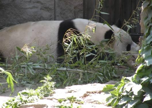 科学网—带外孙在北京动物园看大熊猫