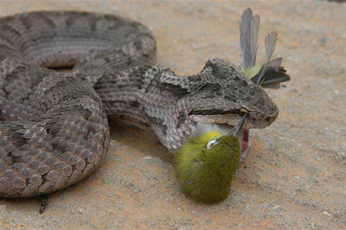 正在被大蛇吞食的红胁绣眼鸟