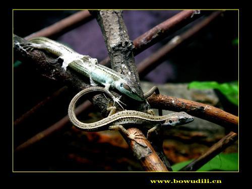 欧洲蓝斑蜥蜴_科学网—令人惊异的蜥蜴 - 段煦的博文