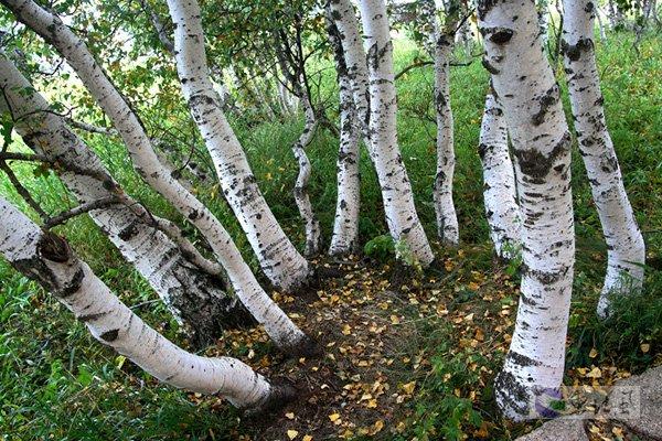 白桦木材质贴图