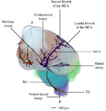 三维图像上重建小鼠脑血管