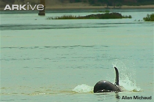 """如布拉马普特拉河,伊洛瓦底河(因而也称""""伊洛瓦底河海豚&rdquo"""