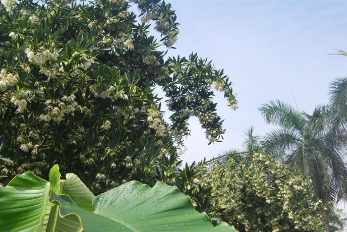 那就是水石榕的花挂满了枝头