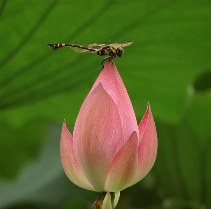 荷花与蜻蜓3图片