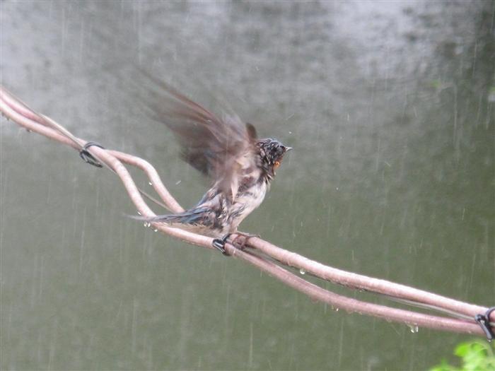 科学网—大雨中的小燕子